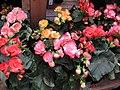 Begonia-IMG 0089sm.jpg