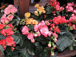 meaning of begonia
