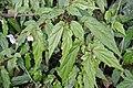 Begonia banaoensis 03.JPG