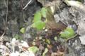 Begonia hughesii03.png