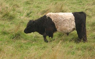 Belted Galloway - Image: Belted galloway bei neukoog nordstrand