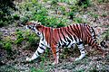 Bengal Tiger at Nehru Zoological Park.jpg