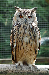 Bengalese Eagle Owl.jpg