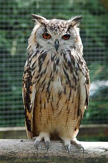 Horned owl Genus of birds (Bubo)