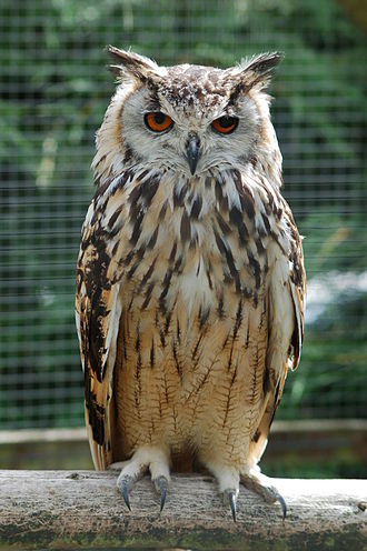 Horned owl - Indian eagle-owl, Bubo bengalensis