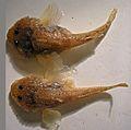 Benthophilus durelli, Don River.jpg
