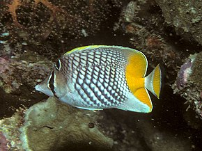 Description de l'image Bep chaetodon xanthurus.jpg.