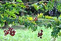 Berries on the fence - panoramio.jpg