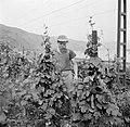 Bespuiten van de wijnranken tegen schimmelziekten en insektenplagen, Bestanddeelnr 254-1169.jpg