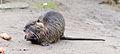 Biberratte - Nutria - coypu - Myocastor coypus - ragondin - castor des marais - Mönchbruch - December 25th 2012 - 03.jpg