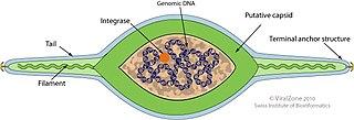 <i>Bicaudaviridae</i> Family of viruses
