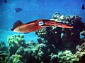 Bigfin Reef Squid 2.jpg