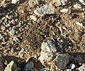 Biological soil crust (6541129329).jpg