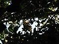 Bird Great Hornbill Buceros bicornis IMG 8659 33.jpg