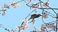 Bird on Sakura (5025662821).jpg