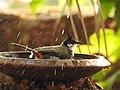 Birds from Ezhimala DSCN7052.jpg