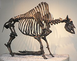 Bison antiquus p1350717.jpg