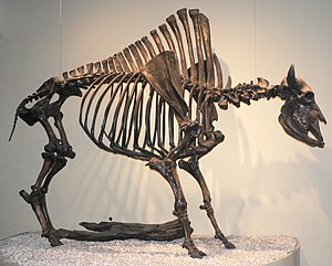 Lindenmeier Site - Bison antiquus, 15-25% larger than its descendent, the modern bison.
