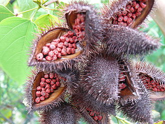 Bixa orellana - Mature achiote pods, showing the red seeds.