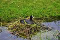 Blässhuhn im Nest 01.jpg