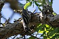Black-and-white Warbler (male) South Llano River SP TX 2018-05-07 08-38-50 (43619546041).jpg