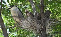 Black-crowned Night-Heron young and parent (48432228622).jpg