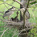 Black-crowned Night Herons feeding chicks (7729542192).jpg