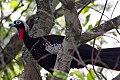 Black-fronted Piping-Guan (Pipile jacutinga) (8077719038).jpg