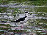 Black-necked Stilt - Myakka River State Park