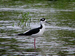 Sarasota County, Florida - Black-necked stilt in Myakka River State Park
