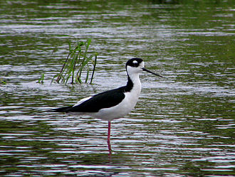 Sarasota County, Florida - Black-necked stilt in Myakka River State Park