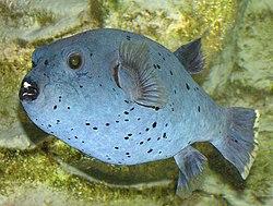 japansk fisk kön tonåringar stor kuk