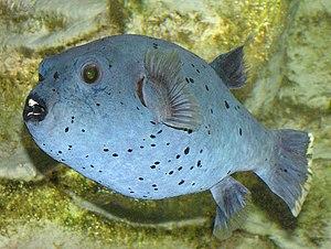 Schwarzflecken-Kugelfisch (Arothron nigropunctatus)