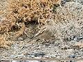 Black-winged Snowfinch (Montifringilla adamsi) (32432371518).jpg