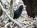 Black butcherbird (32111607946).jpg