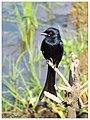 Black drongo (Dicrurus macrocercus) (15994507846).jpg