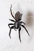Black house spider.jpg