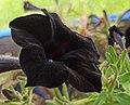 Black petunia. II.jpg