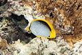 Blackback butterflyfish Chaetodon melannotus (7568518708).jpg