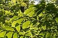 Blacklick Woods - Sunlight through American beech 1.jpg