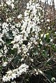 Blackthorn in Flower - geograph.org.uk - 104657.jpg