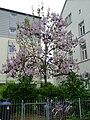 Blauglockenbaum HD.JPG
