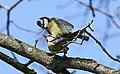 Blaumeise (Cyanistes caeruleus) im Grünfelder Park in Waldenburg. 2H1A3554WI.jpg