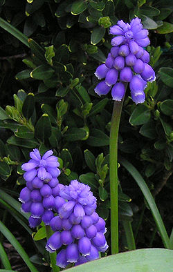 definition of muscari