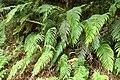 Blechnum novae-zelandiae kz22.jpg