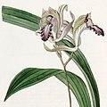 Bletia reflexa - Edwards vol 21 pl 1760 (1836) (cropped).jpg
