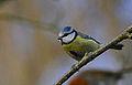 Blue Tit infront of Robin (11551195423).jpg