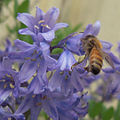 Bluebell honeybee pollination.jpg