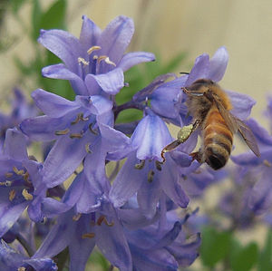 English: Honeybee, Apis mellifera ; Bluebell, ...