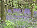 Bluebells in Colonel's Covert wood 2008 - geograph.org.uk - 786968.jpg